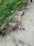 Gatto di cura di animale domestico sul pavimento immagine stock