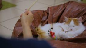 Gatto di Cuty che gioca con il giocattolo archivi video