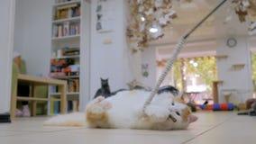 Gatto di Cuty che gioca con il giocattolo stock footage
