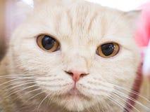 Gatto di Cymric Fotografia Stock