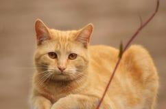 Gatto di gatto dello zenzero fotografia stock