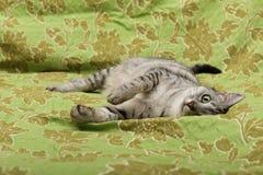 Gatto di gioco curioso, gatto che gioca, gatto pazzo divertente, giovane gatto domestico, giovane gatto di gioco nello sfondo nat Fotografie Stock Libere da Diritti