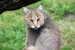 Gatto di giungla Fotografia Stock