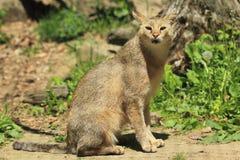 Gatto di giungla Fotografie Stock Libere da Diritti