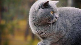 Gatto di Gray British che posa nella foresta video d archivio