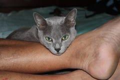 Gatto di Grey Korat con gli occhi verdi Fotografie Stock