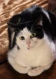 Gatto di Gussy immagine stock