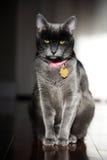Gatto di Korat Fotografia Stock