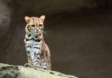 Gatto di leopardo Fotografie Stock Libere da Diritti