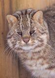 Gatto di leopardo del Amur Immagine Stock