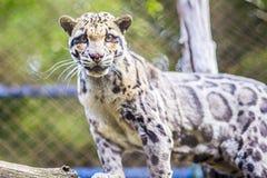 Gatto di leopardo in zoo (bengalensis di Prionailurus) Immagini Stock