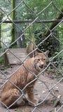 Gatto di Lynx Fotografia Stock