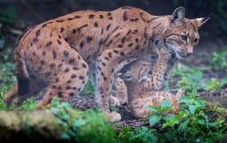 Gatto di Lynx con i gattini Fotografie Stock Libere da Diritti