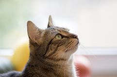 Gatto di marmo divertente interessato a qualcosa fotografia stock libera da diritti