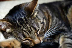 Gatto di Mau dell'Egiziano - dormendo Immagine Stock