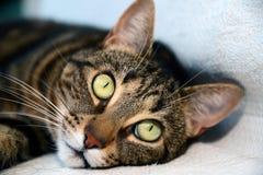 Gatto di Mau dell'Egiziano - grandi occhi Fotografia Stock Libera da Diritti
