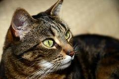 Gatto di Mau dell'Egiziano - piacevole fotografia stock libera da diritti