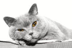 Gatto di menzogne, sguardo fisso, blu britannico Fotografia Stock Libera da Diritti