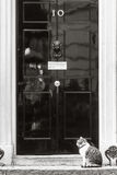 Gatto di Mouser del capo del Downing Street 10 Immagini Stock