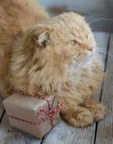 Gatto di Natale con il contenitore di regalo Fotografia Stock