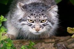 Gatto di Pallas Fotografia Stock