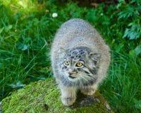 Gatto di Pallas Fotografia Stock Libera da Diritti