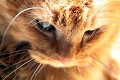 gatto di pensiero all'indicatore luminoso dorato Fotografia Stock Libera da Diritti