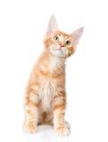 Gatto di procione lavatore di Maine che si siede nella vista frontale e nel cercare O Fotografie Stock