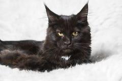 Gatto di procione lavatore nero della Maine che posa sulla pelliccia bianca del fondo Immagine Stock
