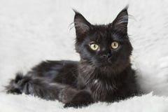 Gatto di procione lavatore nero della Maine che posa sulla pelliccia bianca del fondo Fotografie Stock Libere da Diritti