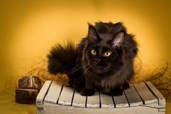 Gatto di procione lavatore nero della Maine su fondo giallo Fotografia Stock