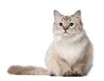 Gatto di Ragdoll, 10 mesi, sedentesi Fotografia Stock Libera da Diritti