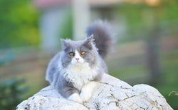 Gatto di Ragdoll Fotografia Stock