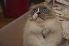 Gatto di Ragdoll con gli occhi azzurri fotografia stock libera da diritti