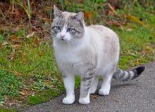 Gatto di Ragdoll con gli occhi azzurri Fotografie Stock Libere da Diritti