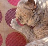 Gatto di razza che lecca zampa Immagini Stock Libere da Diritti
