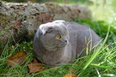 Gatto di razza che si siede fuori sull'erba intorno all'autunno immagini stock libere da diritti
