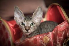 Gatto di razza dello sphynx Fotografie Stock