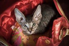 Gatto di razza dello sphynx Fotografia Stock Libera da Diritti