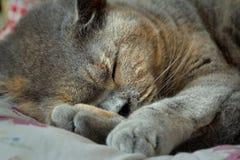 Gatto di razza di sonno Fotografia Stock Libera da Diritti