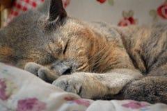 Gatto di razza di sonno Immagini Stock