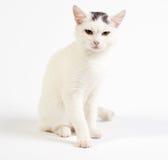 Gatto di razza mista, bambino di 1 anno, su fondo bianco Fotografie Stock Libere da Diritti