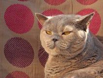 Gatto di razza sembrante compiaciuto Immagini Stock Libere da Diritti
