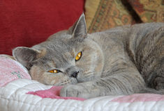 Gatto di razza sonnolento Fotografie Stock Libere da Diritti