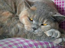 Gatto di razza sonnolento Fotografia Stock