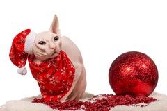 Gatto di razza vestito come Santa Claus Immagine Stock Libera da Diritti