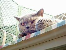 Gatto di razza vigile fotografie stock libere da diritti