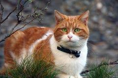 Gatto di rosso del ritratto fotografie stock libere da diritti