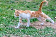 Gatto di sbadiglio Fotografia Stock