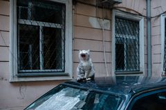 Gatto di sbadiglio Gatto di ottone che si siede sull'automobile fotografia stock libera da diritti